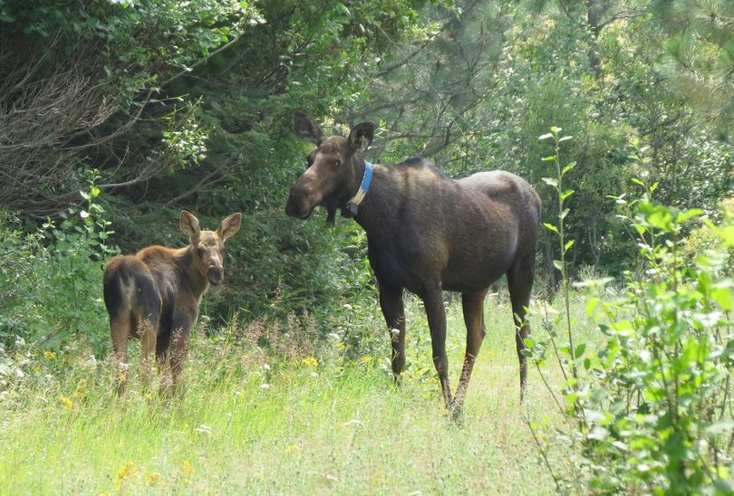 A calf moose stands by its mother, wearing a radio collar Washington Fish and Wildlife researchers attached in winter 2014 for a multiyear study. (Courtesy of James Goerz)