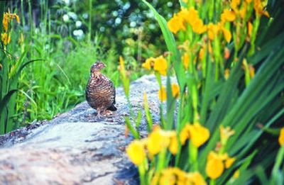 A ruffed grouse strolls on a log along the Little Spokane River during the annual early-June bloom of feral iris that has spread along much of the 45-mile-long river since the ornamental plant escaped from homeowner landscaping decades ago.   (Rich Landers / The Spokesman-Review)