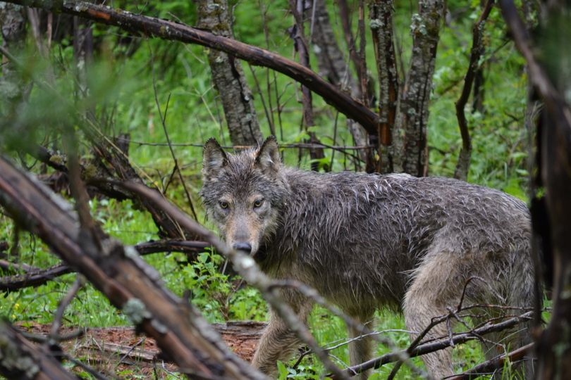 """A second male wolf is released after being trapped an fitted with a radio collar on the Colville Indian Reservation onf June 5, 2012.  The Tribe named the group of wolves in the Sanpoil River region of the reservation the Nc'icn Pack, which means """"grey mist as far as you can see"""" in the Okanogan language. (Colville Confederated Tribes)"""
