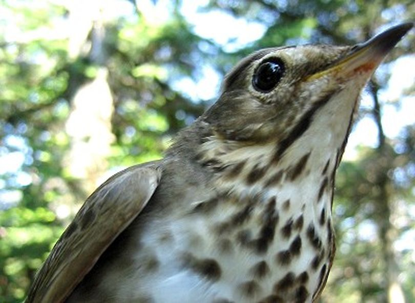 Undated photo of a Swainson's thrush. Like disoriented hikers, migrating songbirds went the wrong way when their inner compasses were disrupted. But the birds recovered, apparently using sunset clues to reorient themselves. How migrating birds find their way over great distances has long intrigued people. Some birds can orient themselves with an internal compass using the earth's magnetic field. Others seem to follow the sun, the stars, polarized light or different clues. (AP Photo/Laura H. Spinney, Science Magazine) ORG XMIT: WX110 (Laura Spinney / The Spokesman-Review)
