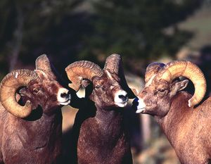 "Bighorn rams are featured in a PBS ""Nature"" program."