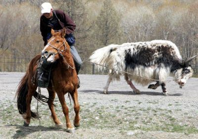 A Mongolian herdsman tries to control a wild yak at the Terelj National Park near Ulan Bator, Mongolia.  (Associated Press photos / The Spokesman-Review)
