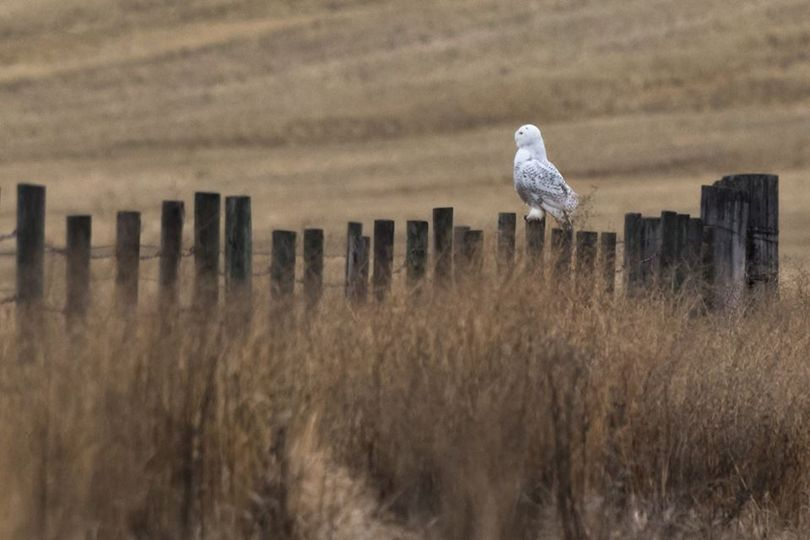 A snowy owl, an arctic bird, showed up in Lincoln County, Washington, on Nov. 25, 2017.  (Craig Goodwin)