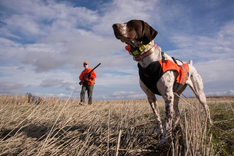 Libby, a German shorthair, points the way to a pheasant for Outdoors editor Rich Landers. (Torsten Kjellstrand)