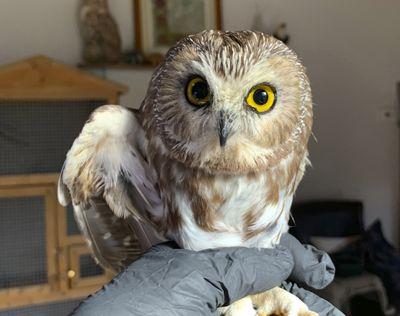 Ravensbeard Wildlife Center Director and founder Ellen Kalish holds a Saw-whet owl  (Lindsay Possumato)