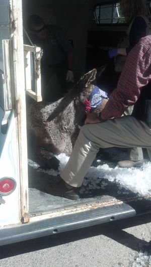 Fish & Game officials settle a sedated 2-year-old moose into a horse trailer in Boise's North End on Thursday; the bandana over its eyes is to prevent it from panicking (Idaho Fish & Game / Mike Keckler)