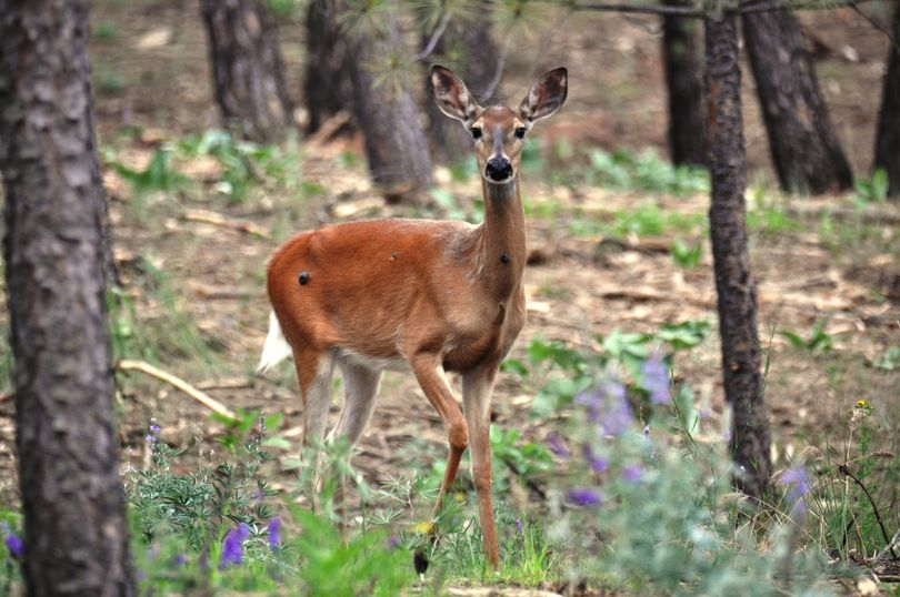 A whitetail doe exhibits large tumor-like growths known as fibromas on her skin. The skin disease is not uncommon among deer in the Inland Northwest. It is not known to affect their meat for human consumption, Idaho Fish and Game biologists say. (Rich Landers)