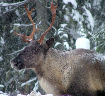 In this November 2005 file photo provided by the British Columbia Forest Service are part of a Southern Selkirk caribou herd moving north through the Selkirk Mountains about three miles north of the Washington state border into Canada. (Garry Beaudry / Associated Press)