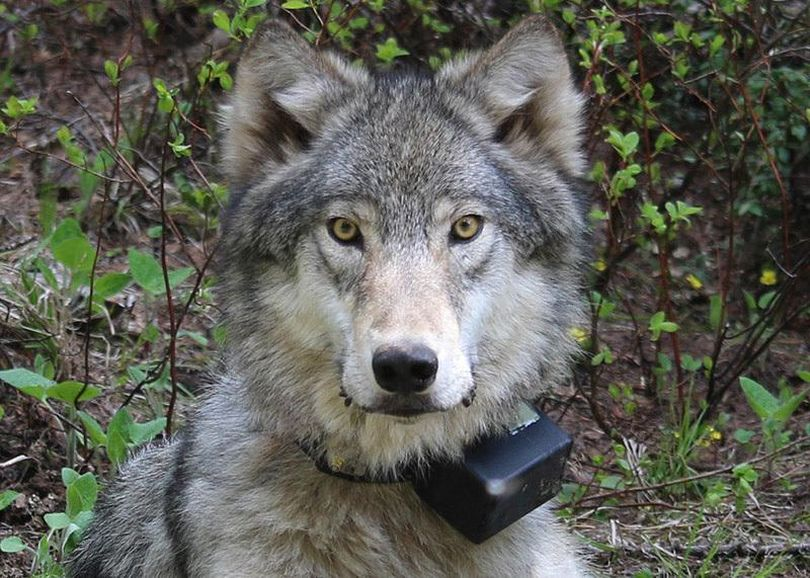 This March 13, 2014,  photo provided by the Oregon Department of Fish and Wildlife shows a female wolf from the Minam pack outside La Grande, Ore., after it was fitted with a tracking collar.  (FILE / Associated Press)