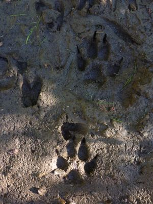 Gray wolf tracks. (Rich Landers)