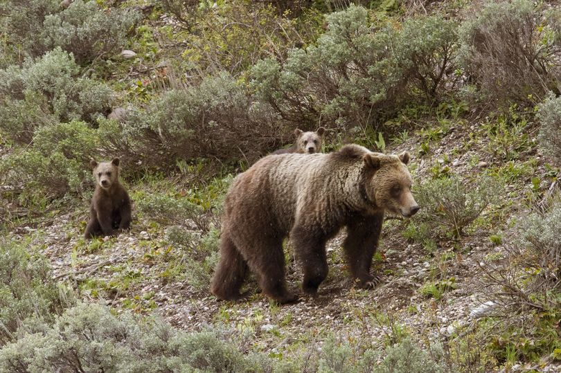 Grizzly bear No. 610 walks through sagebrush in Grand Teton National Park, Wyo., while her two cubs look on. (File -- Tom Mangelsen / Associated Press)