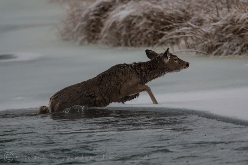 A deer crawls out of a river onto an icy shelf after fleeing a mountain lion. (Jaime Johnson)