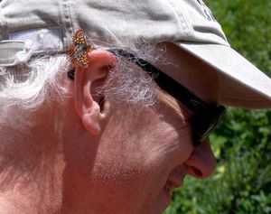 An Anicia checkerspot butterfly lands on John Baumann's ear while he was hiking in Glacier National Park. The butterfly hitched a ride for quite a while, he said. (Courtesy photo)