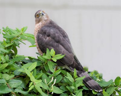 A Cooper's hawk takes a break on the South Hill on Sept. 7. (William Siler / COURTESY)