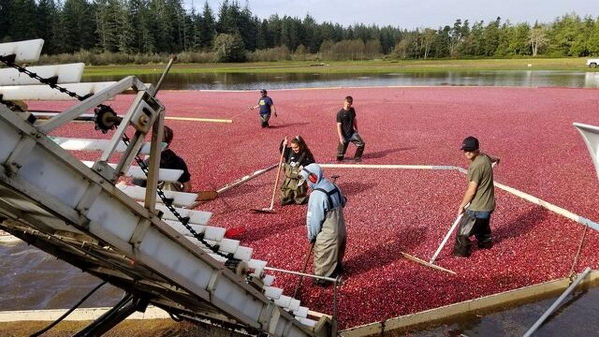 Gardening: Eight-week cranberry harvest begins in mid ...
