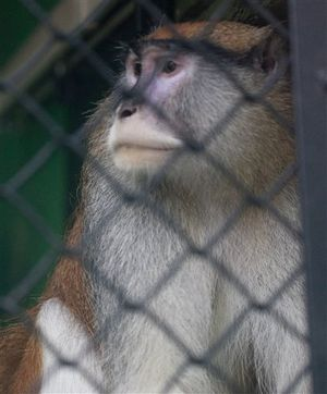This photo shows a Patas monkey at the Boise Zoo over the weekend; early Saturday morning, intruders at the zoo killed its cage mate. Police are investigating. (AP/Idaho Statesman / Katherine Jones)