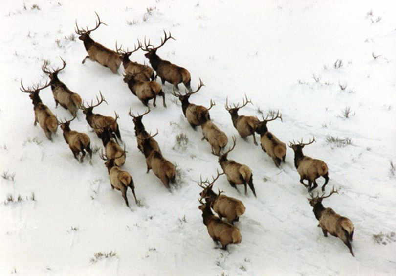 Bull elk are counted by an Idaho Fish and Game Department aerial survey. (Idaho Department of Fish and Game)