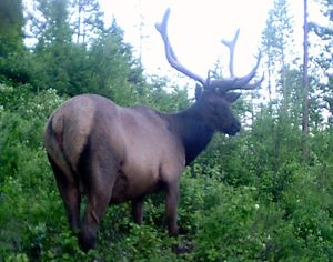 A bull elk trips the motion-activated shutter of a trail cam set up in Stevens County by Kevin Scheib of Colville. (Kevin Scheib)