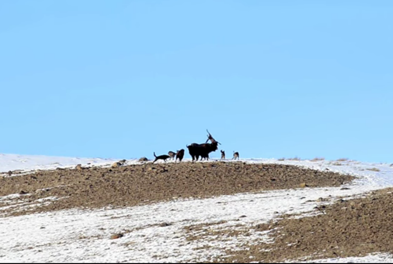 To protect a calf, a Yellowstone bison flings an attacking wolf over its head.