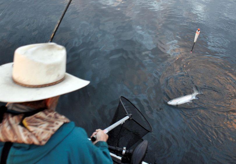 Jim Kujala nets a hatchery steelhead while fishing on the Clearwater River. (Rich Landers / The Spokesman-Review)