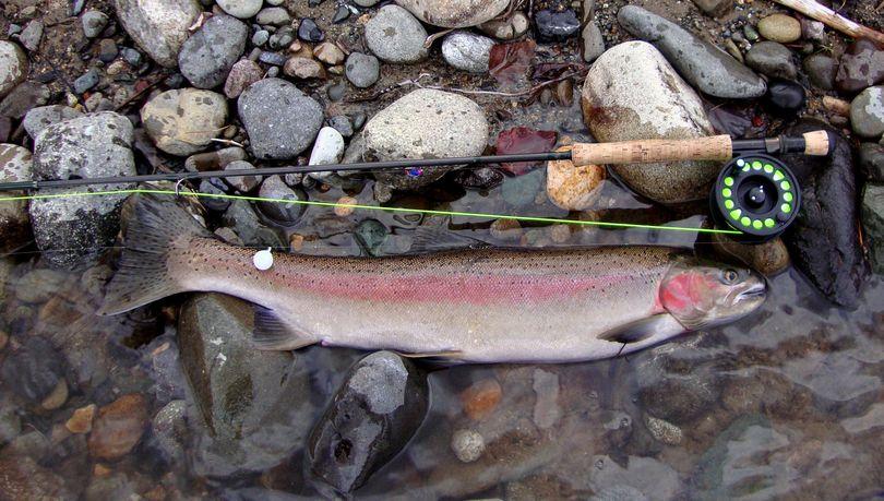 Steelhead: Fin structure good with distinct margins. Normal head, slender body.  (Washington Department of Fish and Wildlife)