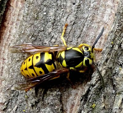 FILE - Yellowjackets crawling inside of a beverage can deliver a nasty summer surprise. (Terry Gray)