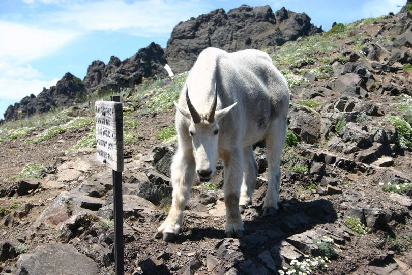 In this July 2008 photo, one of some 300 mountain goats at the time in Olympic National Park faces a photographer on the Switchback Trail in the Klahhane-Hurricane Ridge-Switchback Trail area near Port Angeles, Wash. A mountain goat fatally gored a hiker two years later on the same trail.  (Diane Urbani de la Paz / Peninsula Daily News via AP)