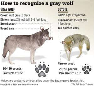 Chart illustrates key identification differences between wolves and coyotes.