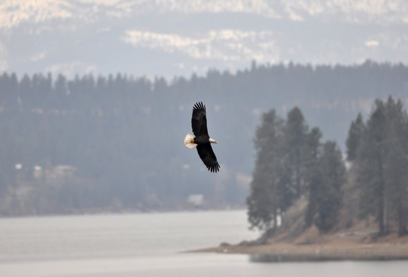 The winter gathering of migrating bald eagles peaks in mid-December at Lake Coeur d'Alene. (File)