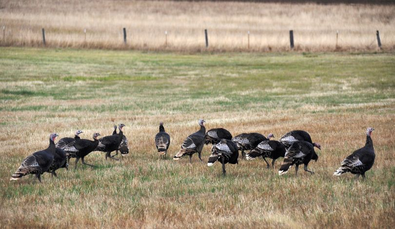 Wild turkey flocks are common sights around the Inland Northwest -- in out of town. (Rich Landers)