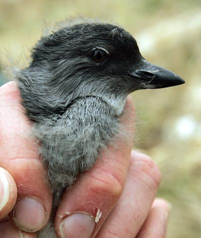 In this July 2006 photo, a Cassin's auklet chick is displayed at the Farallon National Wildlife Refuge in San Francisco. Mass die-offs of the small, white-bellied gray birds have been reported from British Columbia to San Luis Obispo, Calif. (Associated Press)