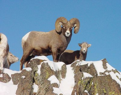 A bighorn ram and other sheep stand on the edge of a cliff in an undated photo in Hells Canyon, Idaho.  (AP)
