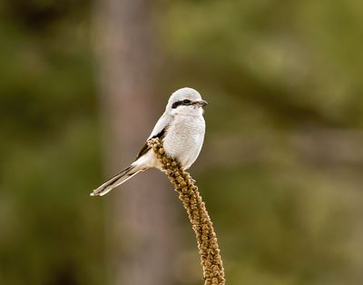 Jerry Rolwes snapped this photo of a northern shrike at Turnbull National Wildlife Refuge.  (Courtesy of Jerry Rolwes)