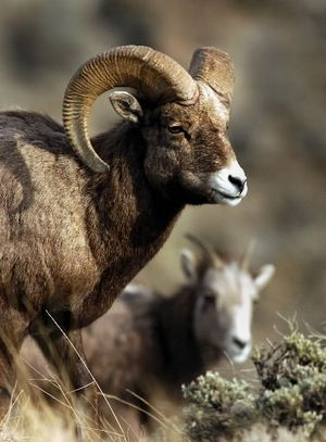 A pair of bighorn sheep feeds just outside Yellowstone National Park near Gardiner, Mont., Jan. 24, 2004. (Associated Press)