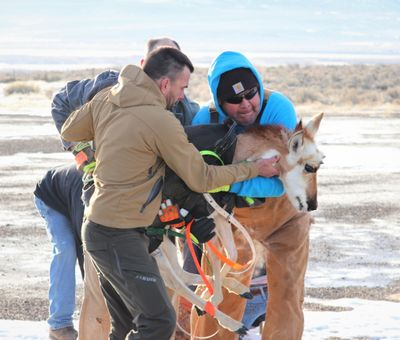 Biologists and volunteers handle a captured pronghorn in Nevada, one of 50 transported to Washington and released in January on the Yakama Indian Reservation. (Courtesy of Allen Ernst)