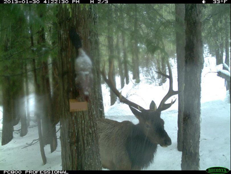 An elk is one of about 20 wildlife species photographed by motion-activated cameras as they came into bait stations in the Idaho Panhandle region mountains. The project is monitored by the Multi-Species Basline Initiative research organized by the Idaho Fish and Game Department. (Multi-species Baseline initiative)