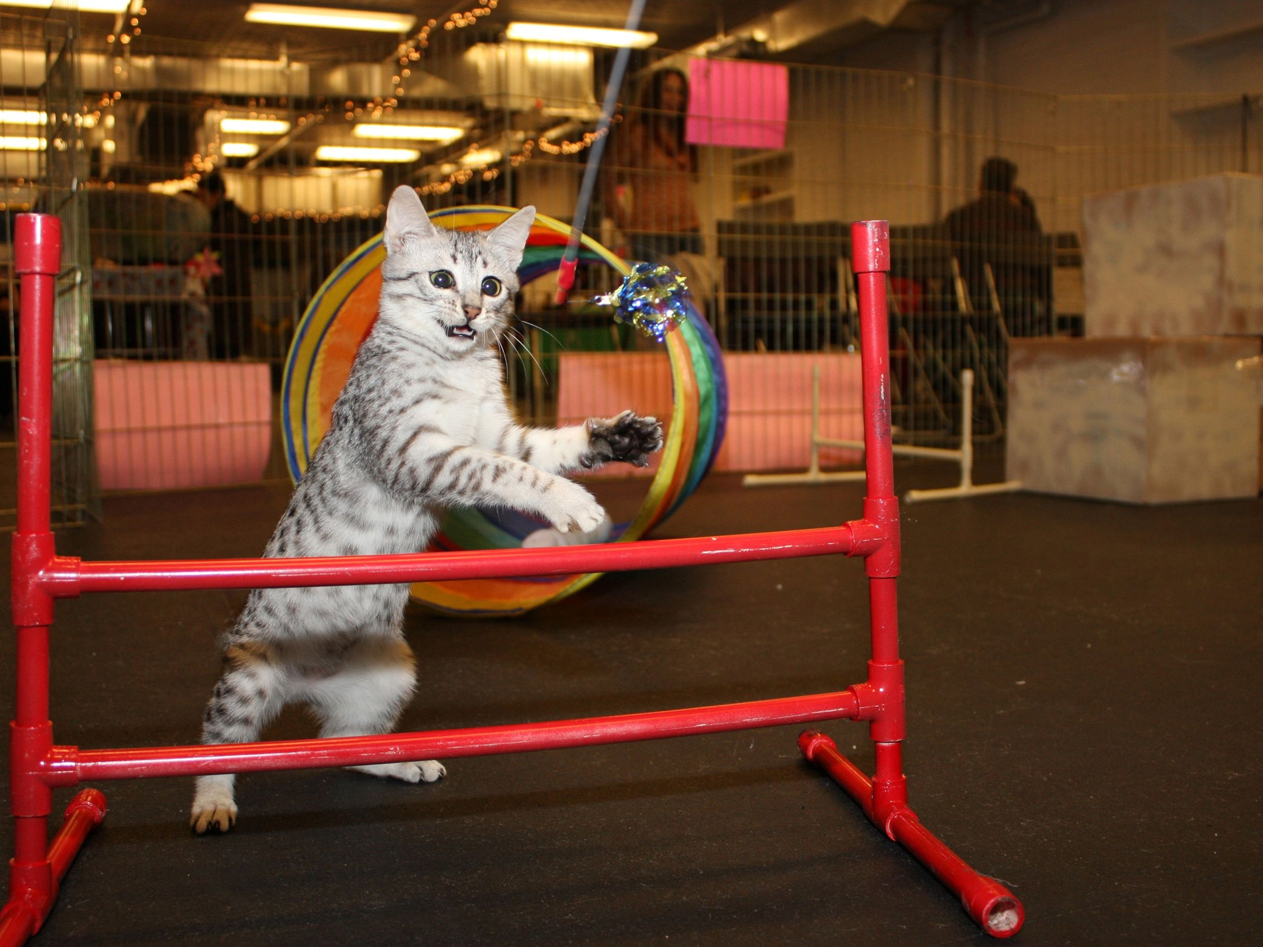 Felines Take To Courses With Catlike Precision The Spokesman Review