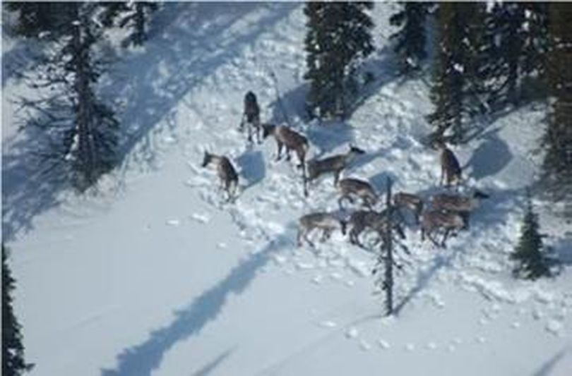 A small band of Southern Selkirks herd woodland caribou is photographed just north of the U.S.-Canada border during an aerial survey in March 2017. (Via Washington Department of Fish and Wildlife)