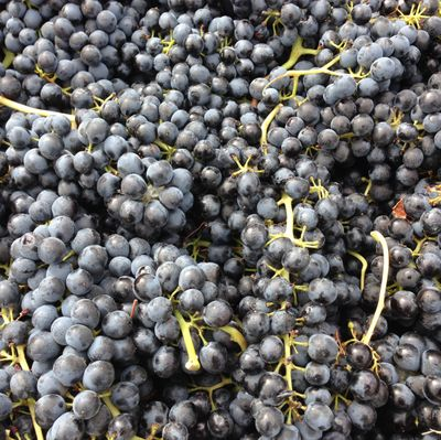 Harvested merlot grapes arrive at a Walla Walla Valley winery. Merlot is the No. 2 red wine grape in Washington and played a big role in the 1990s and 2000s to raise the prominence of the state's wines.