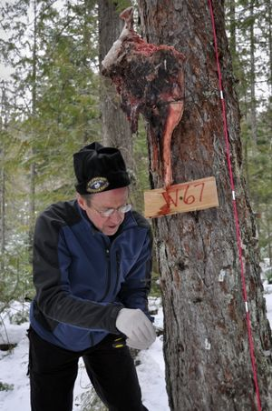 Mark Cochran of the Friends of the Scotchman Peaks Wilderness removes wire gun cleaning brushes from a tree during a wolverine research project in North Idaho. Volunteers visit baited sites to see if hair from wolverines climbing up to the bait is collected by the brushes for DNA sampling. (Rich Landers)