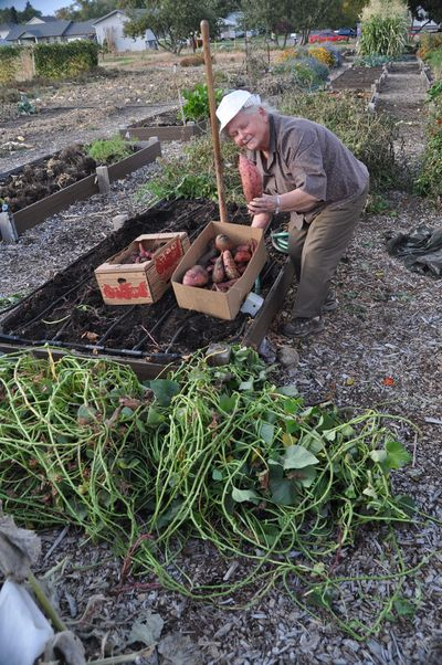 Pat Munts: My friend Jean Baker and I dug 36 pounds of Georgia Jet sweet potatoes out of a four by 8-foot garden box at the Resurrection Episcopal Community Garden on Oct. 2. (Pat Munts / Special to The Spokesman-Review)