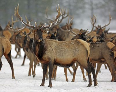 In this Jan. 18, 2017,  photo provided by the Oregon Department of Fish and Wildlife, elk feed at the Wenaha Wildlife Area near Troy, Ore. Wildlife managers in seven states, including Oregon, in the U.S. West report severe weather this past winter was rough on wildlife. (Keith Kohl / Oregon Department of Fish and Wildlife)