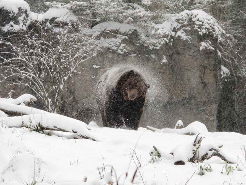 A grizzly bear shakes of snow on Jan. 18, 2012. (Kirsten Pisto)
