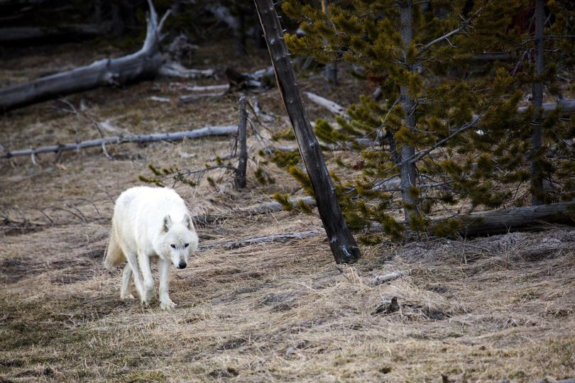In this April 6, 2016, file photo provided by  Yellowstone National Park, a white wolf walks in Yellowstone National Park, in Wyoming. Yellowstone National Park is offering a reward of up to $25,000 for information about the shooting death of a similar rare white wolf near Gardiner, Mont. The wolf is believed to have been shot April 10 or 11. (Neal Herbert / Yellowstone National Park)