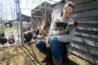 Tania Rapp bottle-feeds a lamb from a fenced pen at her home near Carlton, Wash. She and her husband Carl used to raise alpacas, but after a cougar attacked last winter, they got rid of them to minimize the risk of drawing predators, including wolves, close to their home.  (Associated Press / The Spokesman-Review)