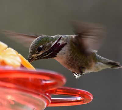 A male calliope hummingbird drinks from Angela Roth's bird feeder in late April. (COURTESY of Angela Roth)