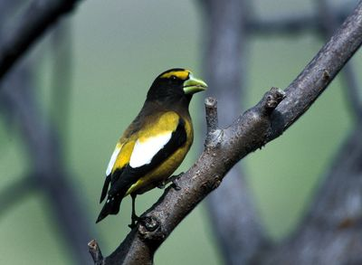 Birdwatchers are keeping an eye out this winter for the evening grosbeak. Formerly common at bird feeders, the species has declined by about 80 percent since 1967. (File Associated Press / The Spokesman-Review)