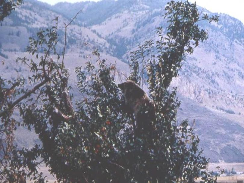 Unlike black bears, grizzly bears generally don't climb trees. But this was willing to make an exception as he fed in an apple tree near Gardiner, Montana. (National Park Service)