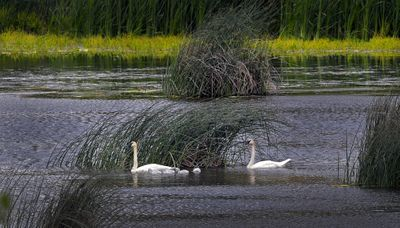 Solo, a trumpeter swan estimated to be up to 46 years old, and his mate swim with their four cygnets at Turnbull National Wildlife Refuge on Monday, although from the distance this photo was taken, biologists weren't sure which adult was which. A younger Solo sired dozens of Turnbull babies, but he's had a dry spell.chrisa@spokesman.com (CHRISTOPHER ANDERSON / The Spokesman-Review)