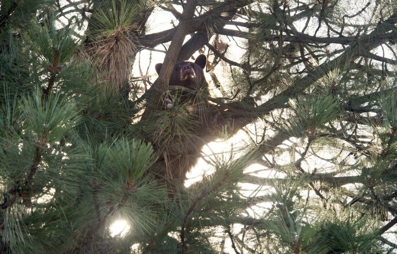 A 150 pound black bear finds a comfortable perch in tree, Oct. 16, 2015, on Lyons Avenue near Nevada Street in Spokane, Wash. Washington State Fish and Wildlife officers tranquilized the 2-year-old bear and had plans to transport it north of Spokane.  (Dan Pelle / The Spokesman-Review)